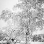 Les arbres décorés par la neige à Javols en Lozère
